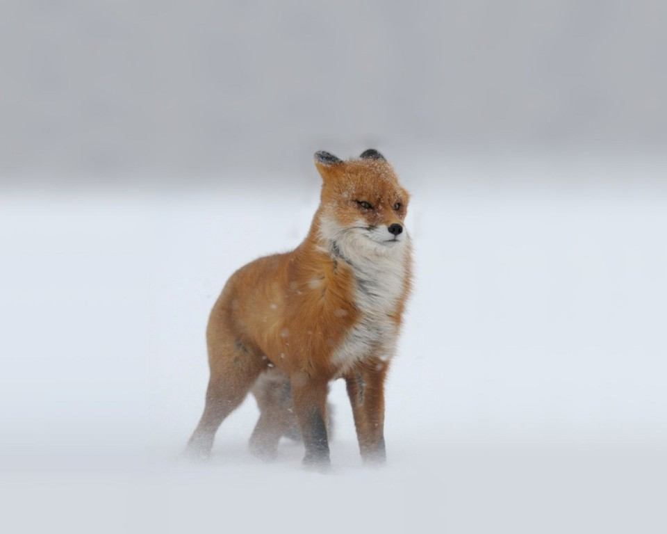 Blizzard Fox stands the ground againts the wind